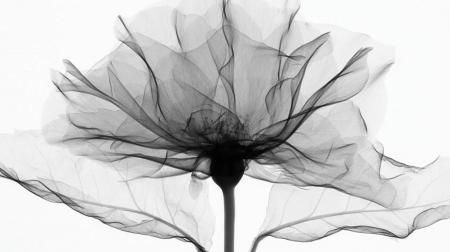 Poppy flower buyxraysonline poppy flower mightylinksfo